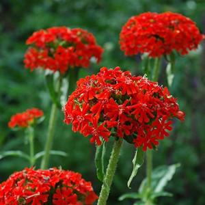 Rose Red Maltese Cross- Lychnis