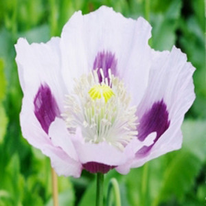 Giganteum White with Blue Poppy