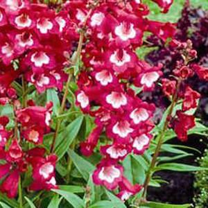 Tubular bells wine red with white throat penstemon seeds 2bseeds image 1 mightylinksfo