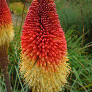 Royal Castle Regal Torch Lily Red Hot Poker