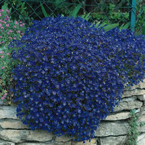 Cascade Blue Rock Cress