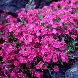 Cascade Red Rock Cress