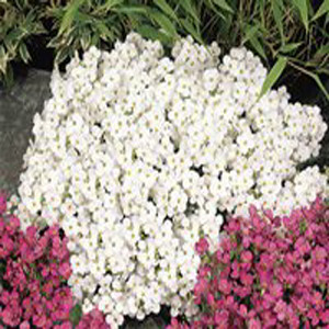 Lotti White Rock Cress