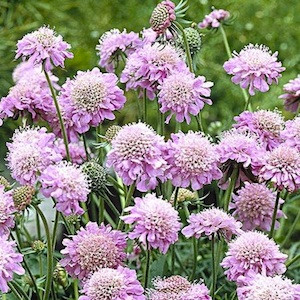 Pink Diamonds Scabiosa