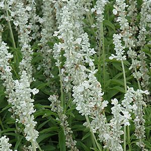 White Victoria Perennial Salvia