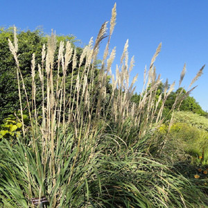 Plume ornamental grass seeds for Ornamental grasses with plumes