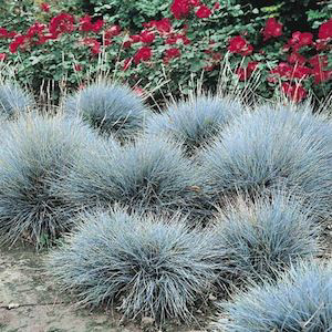 Blue fescue ornamental grass seeds for Small blue ornamental grass