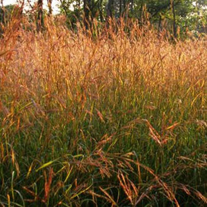 Big Bluestem Ornamental/ Native Grass