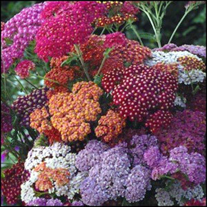 Flowerburst Red Shades Yarrow