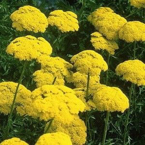 Parkers Cloth of Gold Yarrow