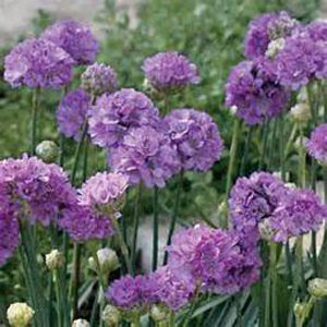 Joystick Lilac Shades Armeria
