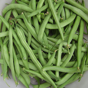 Provider Bush Bean Seeds-OP