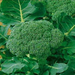 Waltham 29 Heirloom Broccoli
