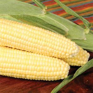 Bodacious F1 Yellow Sweet Corn