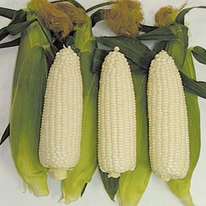 White Out White Sweet Corn