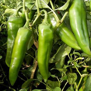 Sandia Green Chile Hot Pepper