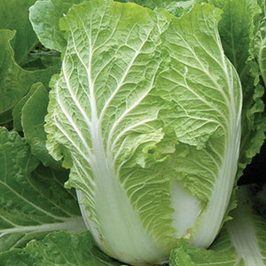 Rubicon Chinese Cabbage