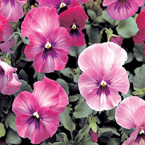 Nature rose pink pansy seeds mightylinksfo Choice Image