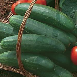 Bush Crop-Slicer- Cucumber