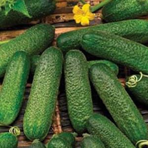 Corentine (Cool Breeze) Slicing Cucumber