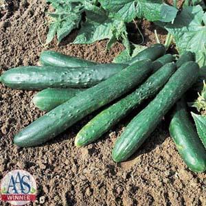 Sweet Success Pickle Cucumber