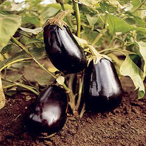 Dusky Eggplant