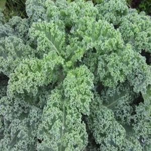Kale Blue Curled Scotch/ Vate