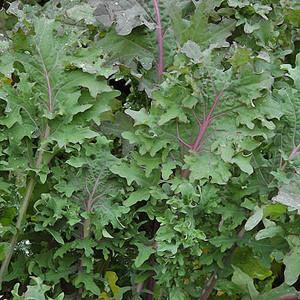 Kale Red Ursa