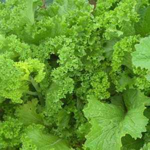 Southern Giant Curled Mustard Greens