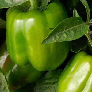 Keystone Giant Resistant 3 Sweet Bell Pepper