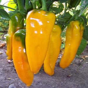 Marconi Golden Sweet Bell Pepper