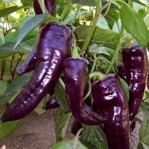 Marconi Purple Sweet Bell Pepper