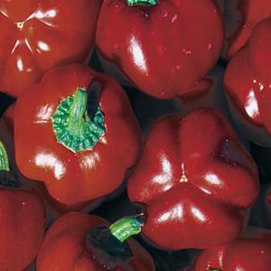 Sheepnose Sweet Pimento Pepper