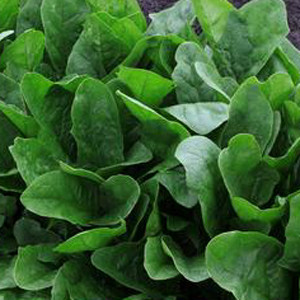 Imperial Green Asian Spinach