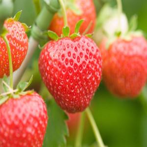 Alexandria Fragaria Strawberry