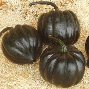Royal Ace PM F1 Winter Acorn Squash
