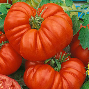 Beefsteak OP Tomato