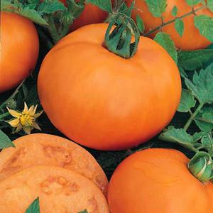 Persimmon Heirloom & OP Tomato