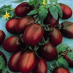 Black Plum OP- Heirloom Tomato