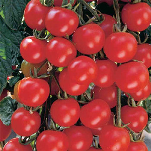 Cherry-Sweet Baby Girl - Cherry Tomato