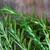 Rosemary Whole Leaf OG