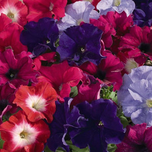 Aladdin Arabian Nights Mix Petunia