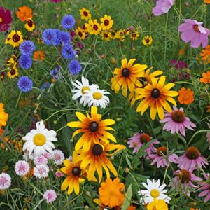 Cut Flower Wildflower Seed Mix