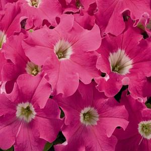 Aladdin Pink Petunia Seeds