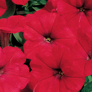Ramblin Red Trailing Petunia