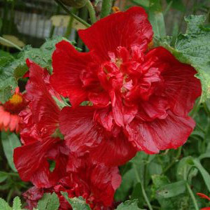 Queeny Red Dwarf Hollyhock