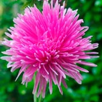 Needle Rose Aster Seeds