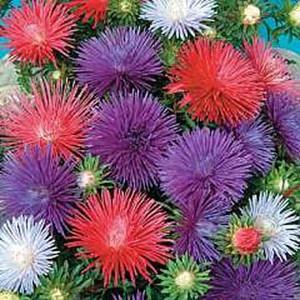 Seastar Mix Aster Seeds