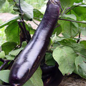 Eggplant Japanese Kurume Long OP - Asian Vegetable