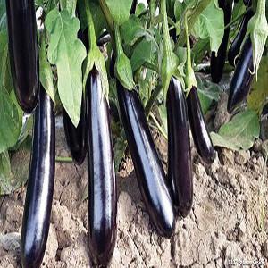 Eggplant Japanese Yasakanaga - Asian Vegetable